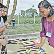 North Cotabato field test shows Bt eggplant wards off borer