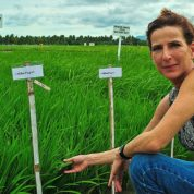 PHL-based scientists' discovery could boost rice yields by 20 percent