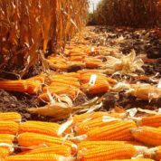 Vitamin A-enriched maize released in Nigeria, seen to benefit health of millions