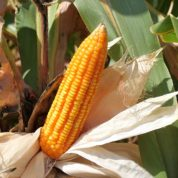 Filipinos switch to gene-altered corn