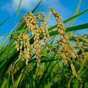 SCIENTISTS DEVELOP GE RICE THAT FLOWER ON DEMAND