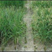 New rice fights off drought