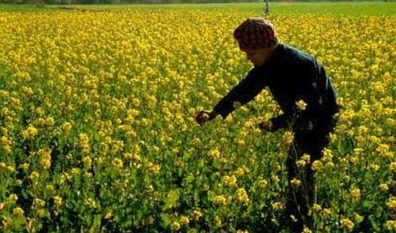 Mustard set to be India's first GM food, gets regulator nod