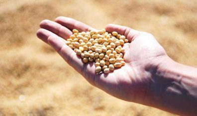Modified soybeans yield more in future climate conditions