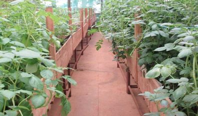 Ugandans to eat GMO potatoes in 2020