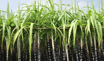 Brazil sugar mills start genetically-modified cane plantation