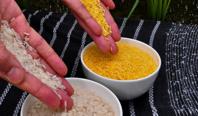 Golden Rice meets food safety standards in three global leading regulatory agencies